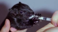Feeding baby black squirrel formula by hand closeup shot on grey Stock Footage