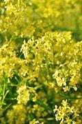 Barbarea vulgaris flowers, close up Stock Photos