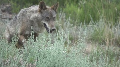 Slow motion of wolf going to lie down, front view, flat color Stock Footage