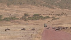 CLOSE UP: Wildebeest herd crossing dirt road, safari tourist jeep in background Stock Footage