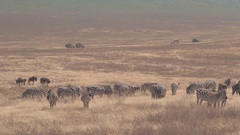 CLOSE UP: Herd of wildebeests and zebras grazing on arid savannah grass plains Stock Footage