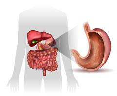 Stomach cross section anatomy and surrounding organs Stock Illustration