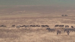CLOSE UP: Group of wildebeests and zebras grazing on arid savannah grass plains Stock Footage