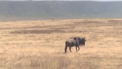 CLOSE UP: Wildebeest wandering through extensive African grassland savannah Stock Footage