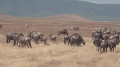 CLOSE UP: Herd of wildebeests and zebras pasturing on vast savannah plains Stock Footage