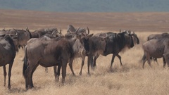 CLOSE UP: Herd of wildebeests and zebras grouping to take long migration journey Stock Footage