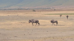 CLOSE UP: Herd of wildebeests grazing on plains of African savannah grassland Stock Footage