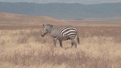 AERIAL: Cute zebras feeding on straw on vast arid African savannah grassland Stock Footage