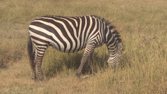 CLOSE UP: Magnificent mother zebra grazing on arid African savannah grassland Stock Footage