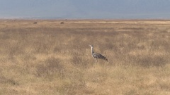 CLOSE UP: Kori bustard bird standing on vast arid African savannah field Stock Footage