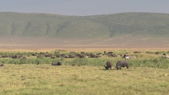CLOSE UP: Herd of African buffalos resting on sun in lush savannah grassland Stock Footage