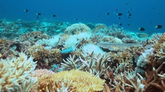 Coral bleaching occurs when water temperatures rise over a longer period. Stock Footage