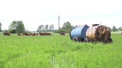 Group of livestock cows feeding in grassland pasture. Water reservoir. 4K Stock Footage