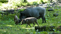 Wild boar with her two babies Stock Footage
