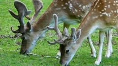Close up from deers eating grass Stock Footage