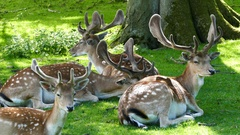 Herd of deers laying in the grass Stock Footage