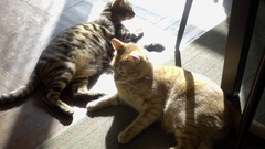 Two cats lounging in sun - striped kittens taking sunbath on floor in apartment Stock Footage