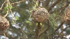 Ploceidae bird flying near nest in super slow motion Stock Footage