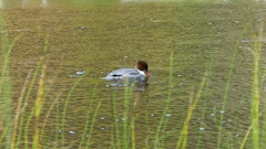 Common merganser diving under water Stock Footage