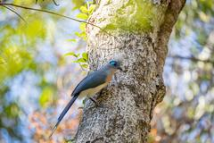 Crested coua bird (Coua cristata) Madagascar Stock Photos