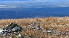 Ptarmigan birds in Pallas-Yllästunturi National Park Stock Footage