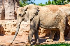 Two African Elephants In Zoo Stock Photos