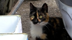 Brown cat with black and white that looks curiously around Stock Footage