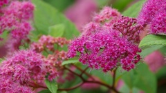 Detail from purple Spiraea plant in summer Stock Footage