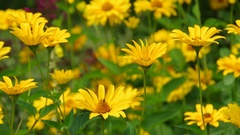 Yellow oxeye daisy flower in summer garden Stock Footage