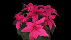 Time-lapse of growing poinsettia Christmas flower with ALPHA channel Stock Footage