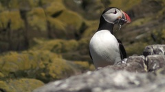 Puffin with Sand Eels Stock Footage
