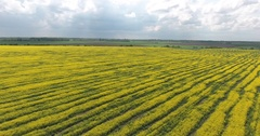 Farmland with Blooming Canola Stock Footage