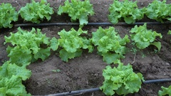 Row of lettuce in a greenhouse Stock Footage