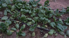 Row of spinach in a greenhouse Stock Footage