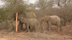 African Elephant (Loxodonta africana) adult with juvenile, eating bark from tree Stock Footage