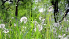 Camp flowering dandelions opened the shade of trees  Stock Footage