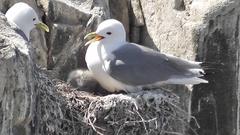 Kittiwake and it's chicks Stock Footage
