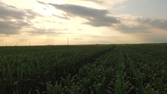 Aerial video, cultivated field, field corn. About agriculture, irrigation Stock Footage