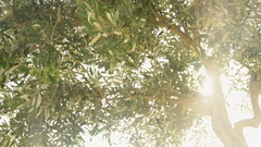 Olive tree branch with olives in the sun in Rhodes, Greece Stock Footage