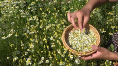 Female hands pick camomile herbal flower blooms to wicker dish. 4K Stock Footage