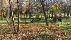 Herd of goats early in the morning in the city park, autumn Stock Footage