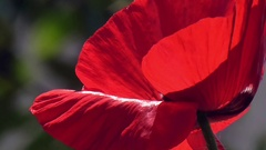 Poppy, textured front. Stock Footage