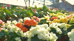 Close up of many flowers in gardenhouse 4K Stock Footage
