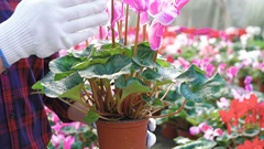 Close up gardener examining flowerpot in gardenhouse 4K Stock Footage