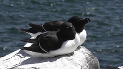 A close shot of a pair of Razorbills sunbathing on the cliff edge Stock Footage