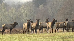 Roosevelt Elk Herd Winter Olympic Peninsula Stock Footage
