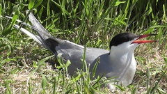 Common Tern close-up on the nest Stock Footage