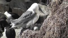 Kittiwake on the nest Stock Footage