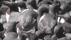 Guillemots on their breeding ledges Stock Footage