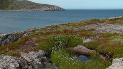 Small white flowers on a background of the northern cliffs and the sea. Stock Footage
